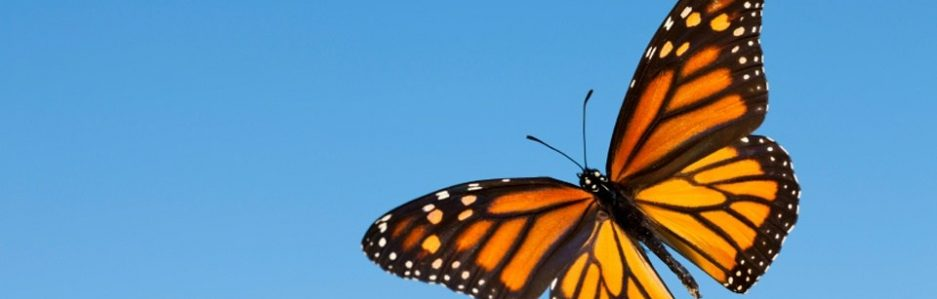 cropped-central-america-monarchs-photo-2-butterfly-e1516426292461.jpg